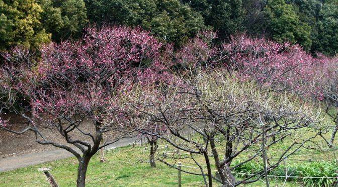 山田池公園梅林