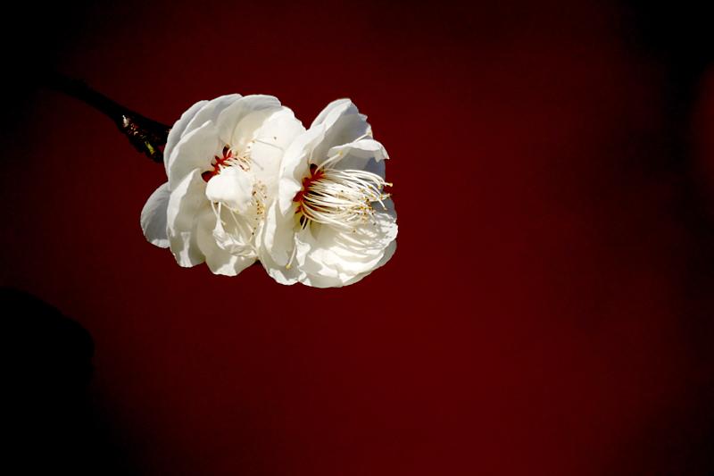 山田池公園の梅