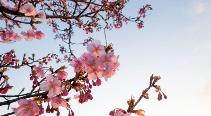 穂谷川沿いの河津桜