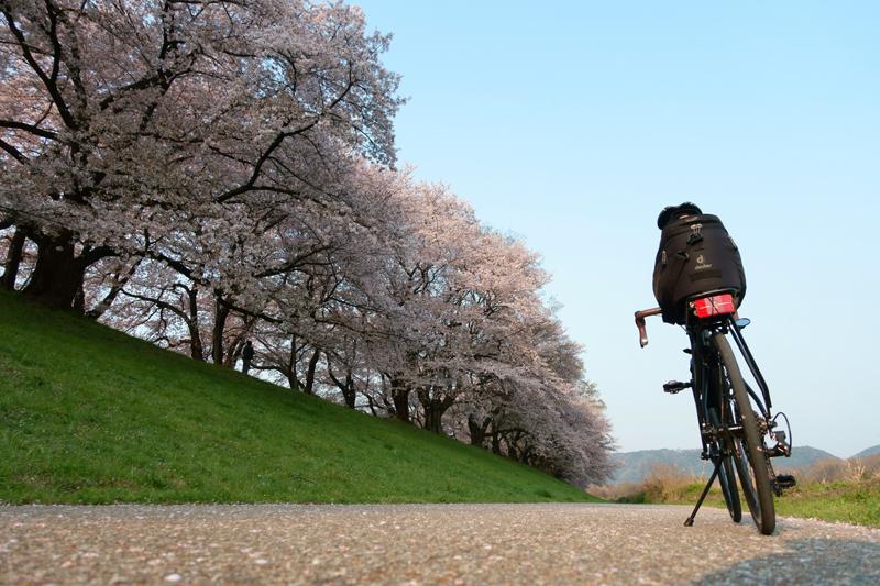 M451R 背割堤 桜