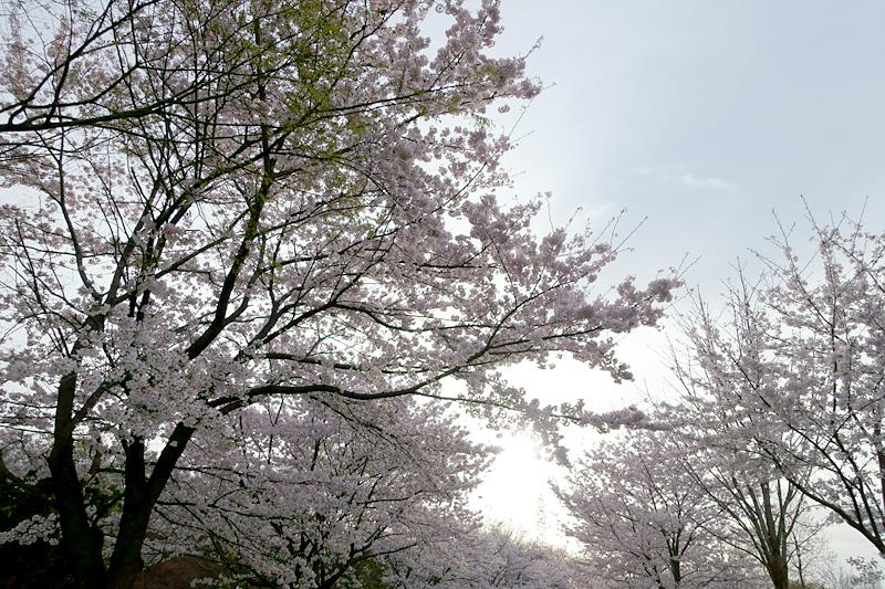桜 山田池公園