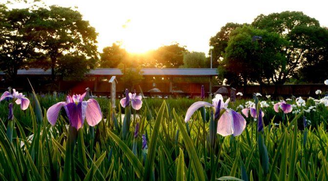 黄昏時 山田池公園 菖蒲園