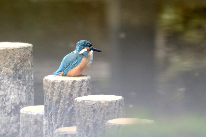山田池公園のワセミ
