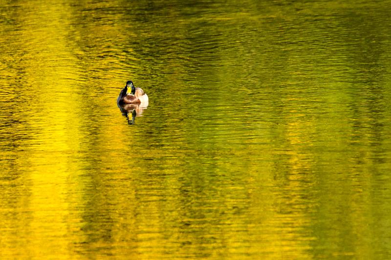 カモ 白旗池