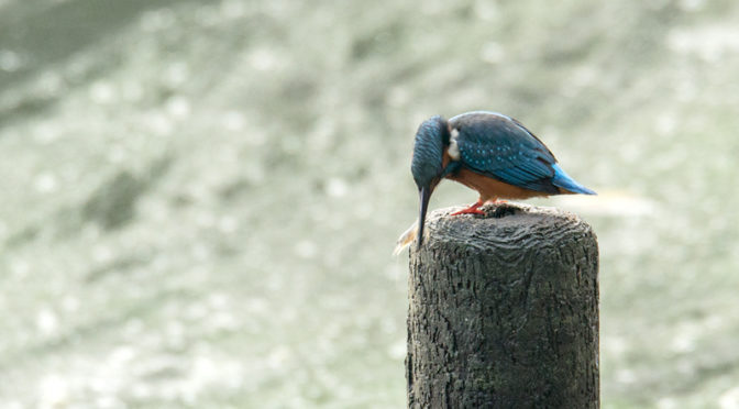 カワセミ 山田池公園