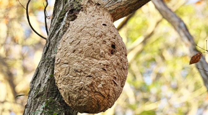 スズメバチの巣 くろんど園地