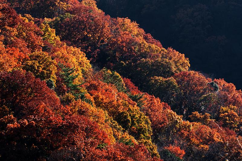 交野山 紅葉