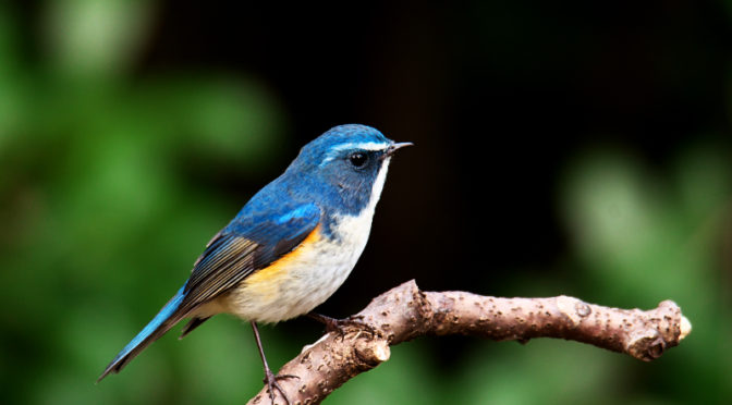 青い鳥 ルリビタキ