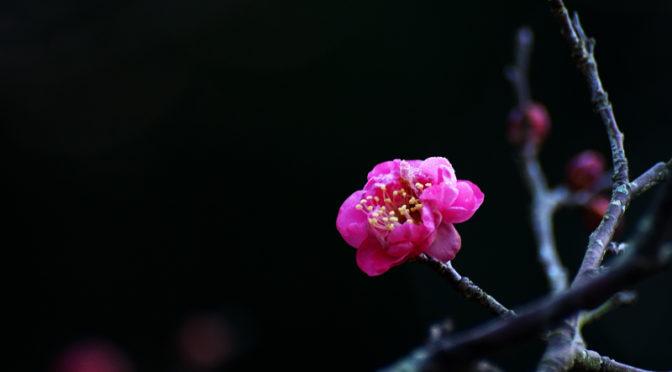 赤い梅の花 八重寒紅