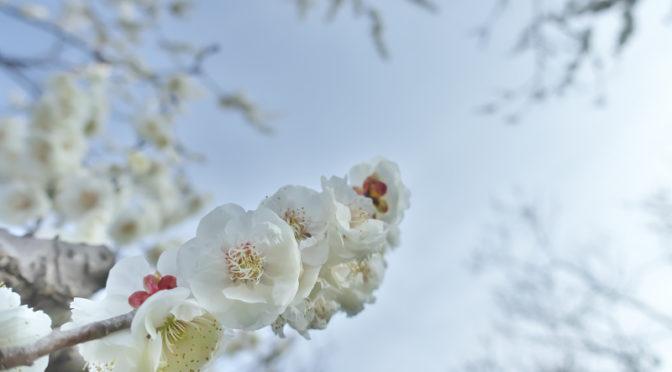 梅みごろ 山田池公園 梅園