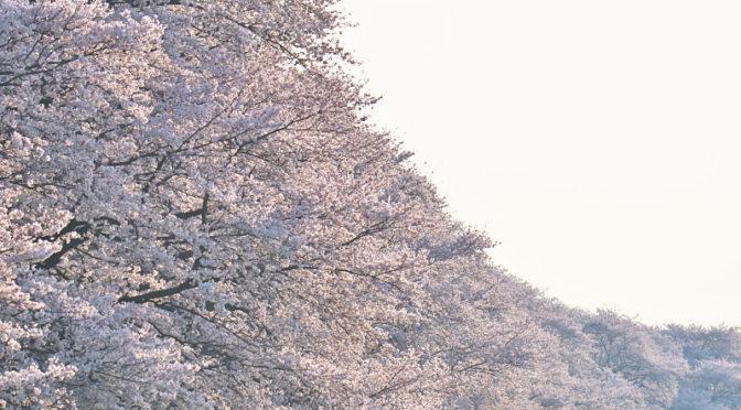 背割堤 桜 2018