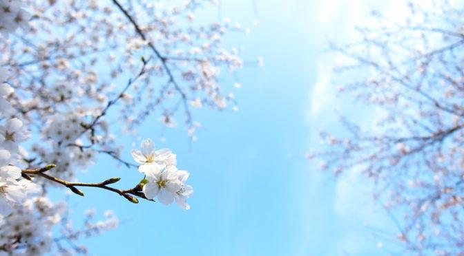 爽やかな朝 山田池公園の桜