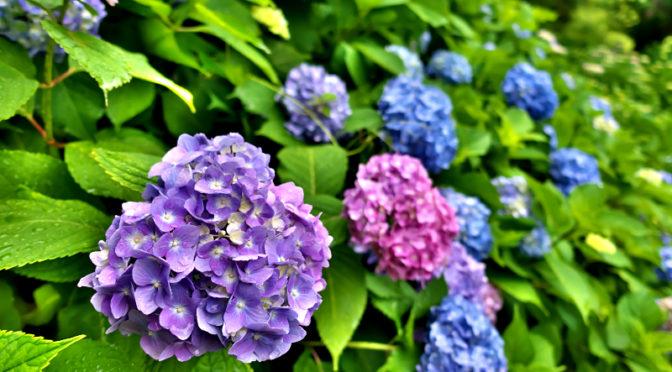 紫陽花 山田池公園