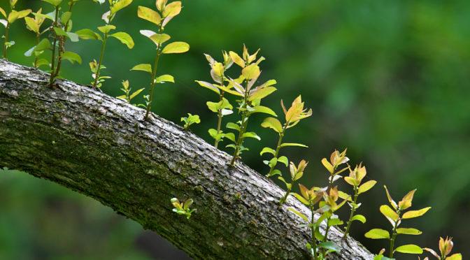 倒木から新芽