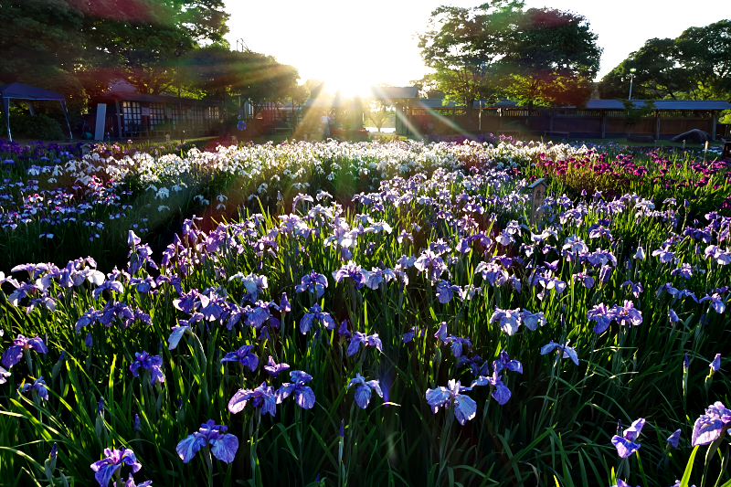 花菖蒲 山田池公園