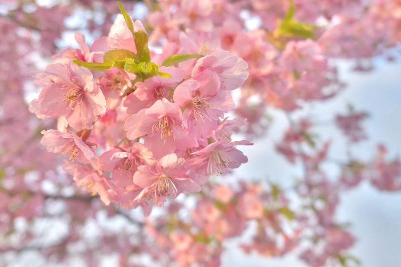 穂谷川 河津桜