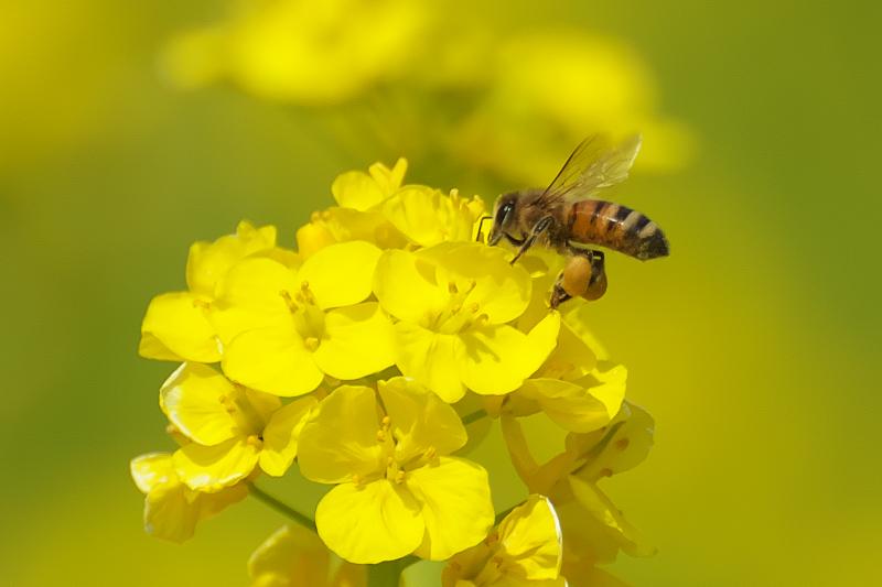 ミツバチ 菜の花 交野市向井田