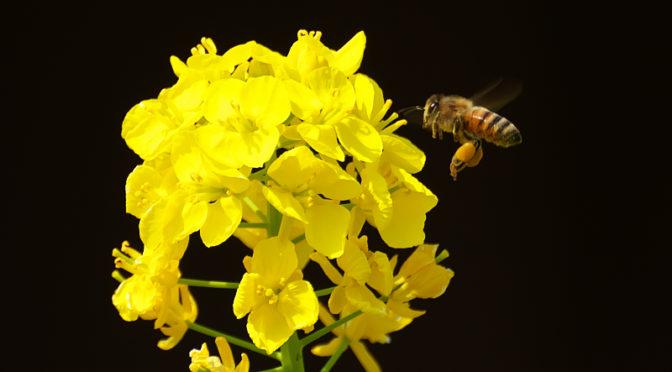 黄色い世界 菜の花とミツバチ
