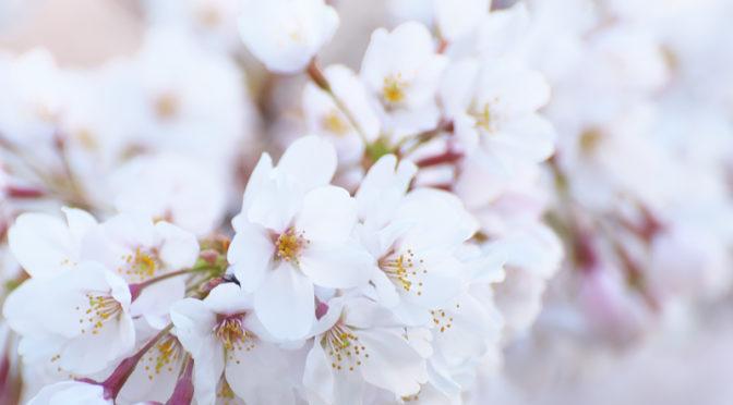 桜 八分咲き