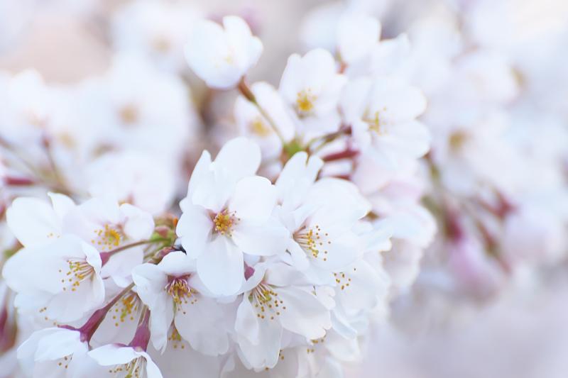 山田池公園 桜