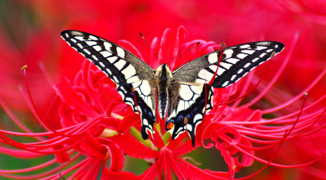 曼殊沙華と揚羽蝶